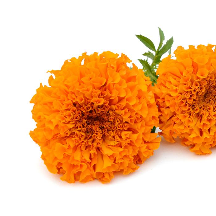 marigold-flower-extract-lutein-zeaxanthin-fanpharma