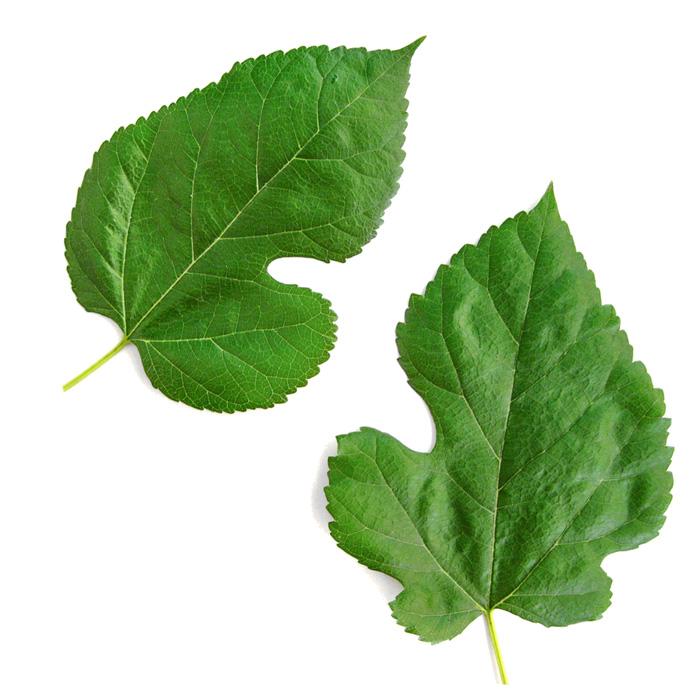 mulberry-leaf-extract-1-DNJ-fanpharma