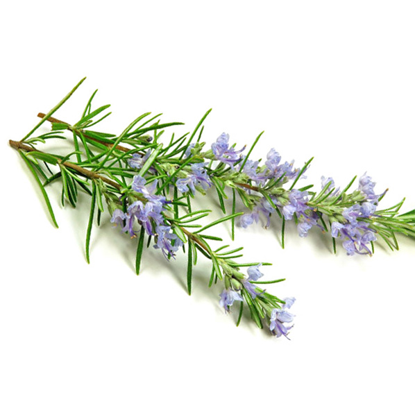 rosemary-leaf-extract