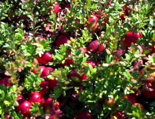 Cranberry Extract 25% Proanthocyanidins